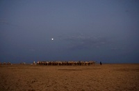 Gabbra nomad with herd of Arabian Camel s at full moon, Chal