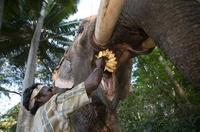 Mahout feeding a buch of bananas to elephant, India 22206002184| 写真素材・ストックフォト・画像・イラスト素材|アマナイメージズ