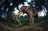 Indian elephant lifting tree trunk, Andamans, India