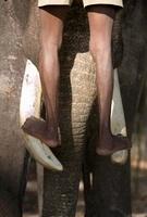 Mahout standing on Indian elephant's tusks, Andamans, India 22206002192| 写真素材・ストックフォト・画像・イラスト素材|アマナイメージズ