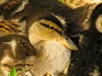 Mallard ducklings, Hever Castle, UK