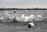 Mute Swans fighting, WWT Welney Wetland Centre, UK