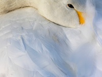 Whooper Swan resting, WWT London Wetland Centre, UK