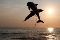 Bottlenose Dolphins at sunset, Honduras