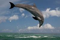 Bottlenose Dolphins, Honduras