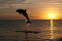 Bottlenose Dolphin at sunset, Honduras