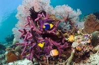 Bicolor angelfish and Klein's butterflyfish with gorgonian a
