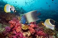 Semicircle angelfish, a Saddled butterflyfish and Panda butt