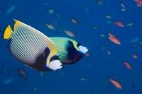 Emperor angelfish.  Andaman Sea, Thailand.  Indo-Pacific. 22206002507| 写真素材・ストックフォト・画像・イラスト素材|アマナイメージズ