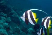 Longfin bannerfish.  Bali, Indonesia.  Indo-Pacific.