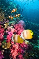 Klein's butterflyfish swimming over coral reef with soft cor