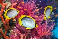 Black-backed butterflyfish with soft coral.  Egypt, Red Sea.