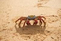 Sally Lightfoot Crab, (Red Rocks Crab) walking on beach.  Ba
