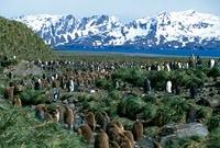 King penguin colony, Salisbury Plain, South Georgia. 22206002599| 写真素材・ストックフォト・画像・イラスト素材|アマナイメージズ