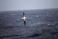 Albatross in flight, Salisbury Plain, South Georgia