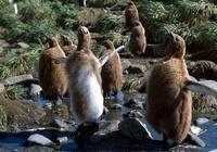 King penguin chicks losing their baby fluff, Salisbury Plain