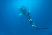 Whale Shark, Honda Bay, Palawan, The Philippines