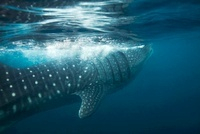 Whale Shark, Puerto Princesa Bay, The Philippines