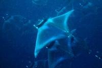 Manta rays, Puerto Princesa Bay, The Philippines