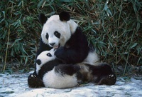 Giant Panda mother and cub, Sichuan, China