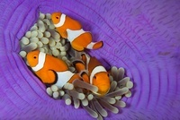 False Clownfish, Lighthouse Reef, Cabilao Island, Philippine 22206002788| 写真素材・ストックフォト・画像・イラスト素材|アマナイメージズ