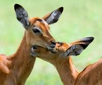 Impala, Nakuru National Park, Kenya