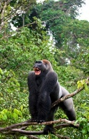 Lowland gorilla, L?fini National Park, Republic of Congo. 22206002829| 写真素材・ストックフォト・画像・イラスト素材|アマナイメージズ