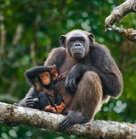 Chimpanzee female with baby, Conkouati-Douli National Park,