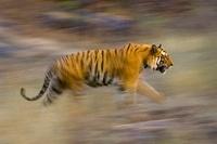 Male Bengal Tiger - Sundar (B2) running and patrolling terri