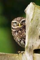 Little Owl on fence post in farmland, Surrey, England. (Cont