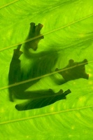 Silhouette of Wallace's Flying Frog on palm leaf. Danum Vall