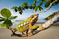 Male Panther Chameleon  stalking prey in beach side vegetati
