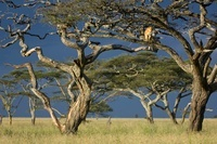 African Lioness using tree as a lookout, Nogorongoro Conserv