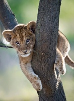 African lion cub about 3 months old, climbing a tree. Near N