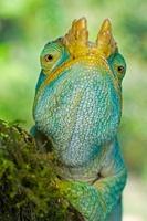 Male Parson's Chameleon hunting for prey. Ranomafana Nationa