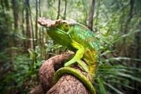 Male Parson's Chameleon  in rainforest understorey. Masoala