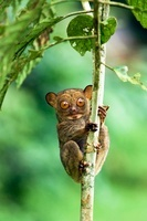 Adult Western Tarsier, Lowland dipterocarp rain forest, Danu