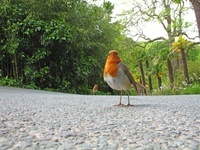 Robins on Tarmac looking for food, South Devon, UK.