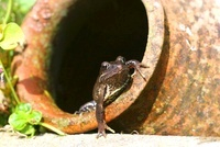 Frog in a Pot in a garden in Kent, UK