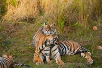 Bengal Tiger mother with cubs, Bandhavgarh National Park, Ma