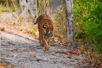 Bengal Tiger, Bandhavgarh National Park, Madhya Pradesh, Ind