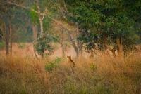 Bengal Tiger hunting, Bandhavgarh National Park, Madhya Prad