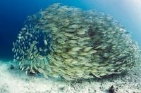 Bigeye scad school over coral reef.  Misool, Raja Empat, Wes