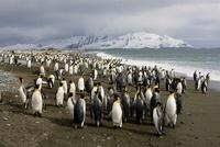 King Penguins on Beach, Salisbury Plain, South Georgia 22206002965| 写真素材・ストックフォト・画像・イラスト素材|アマナイメージズ