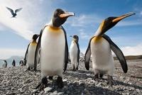 King Penguins on the beach at Salisbury Plain, with Antarcti