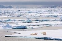 Polar Bears on ice floe, Woodfjorden, northern Spitsbergen,