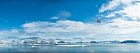 Adult Arctic Tern hovering / foraging in Woodfjorden, Northe