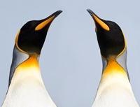 King Penguins. Salisbury Plain, South Georgia.