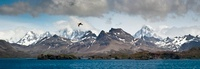 Southern Giant Petrel in flight over the coast of South Geor