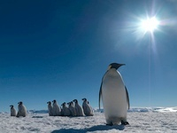"Emperor penguins ""kindergarten"", October, Snow Hill Island,"